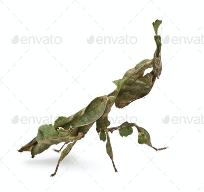 Ghost Mantis, Phyllocrania paradoxa, 3 months old, in front of white background
