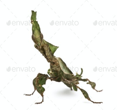 Ghost Mantis, Phyllocrania paradoxa, praying mantis, 3 months old, in front of white background