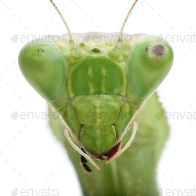 Close-up of Stagmatoptera Sp, Stagmatoptera, praying mantis, in front of white background