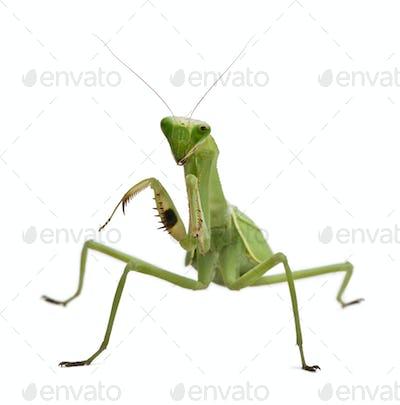 Stagmatoptera Sp, Stagmatoptera, praying mantis, in front of white background