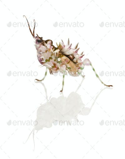 Spiny flower mantis, Flower Mantis, Pseudocreobotra Wahlbergii, in front of white background