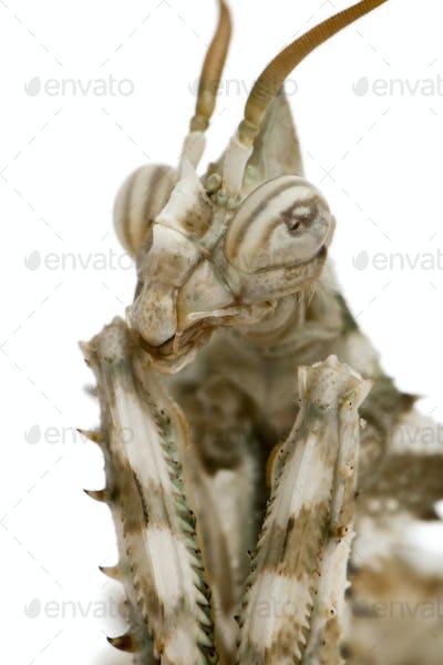 Female Blepharopsis mendica, Devil's Flower Mantis, in front of white background
