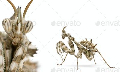 Female Devil's Flower Mantis in front of white background