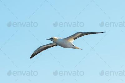Flying gannet on blue sky