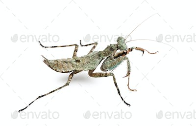 Theopompa SP, praying mantis, in front of white background