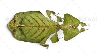 Phyllium bioculatum, leaf insect or walking leave, Phylliidae, against white background