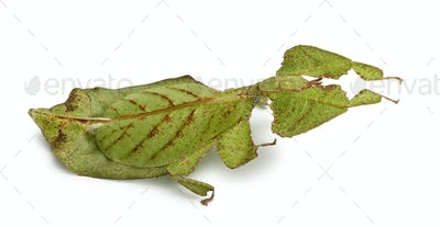 Phyllium bioculatum, leaf insect or walking leave, Phylliidae, in front of white background