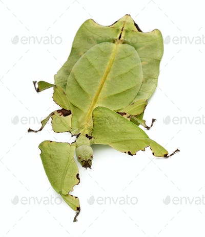 Phyllium giganteum, leaf insect, walking against white background