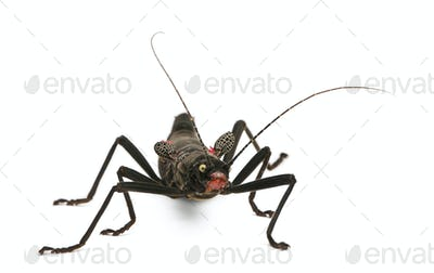 Peruphasma schultei, stick insect, in front of white background