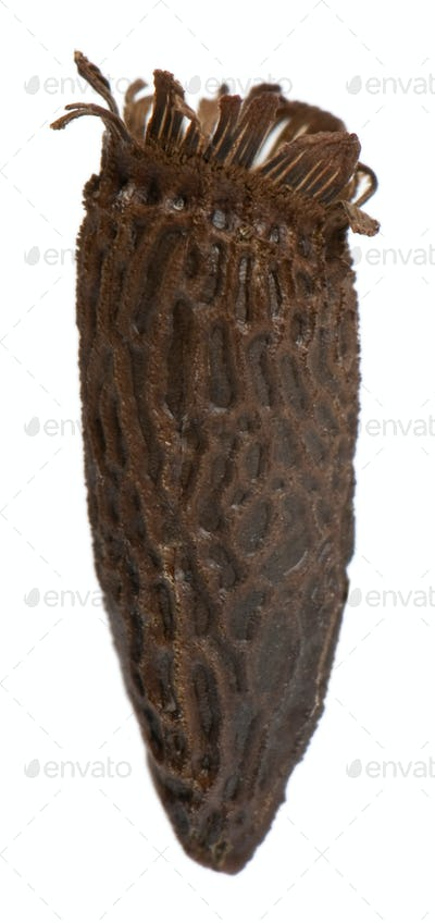 Egg of Diesbachia tamyris, stick insects, phasmatodea, against white background