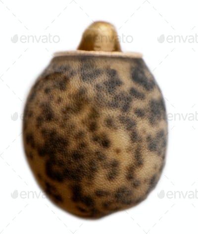 Egg of paranerexerus laetus, stick insects, phasmatodea, against white background