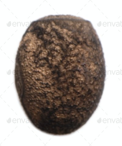 Egg of Peruphasma schultei, stick insects, phasmatodea, against white background