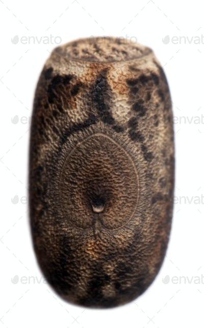 Egg of Eurycantha calcarata, stick insects, phasmatodea, against white background