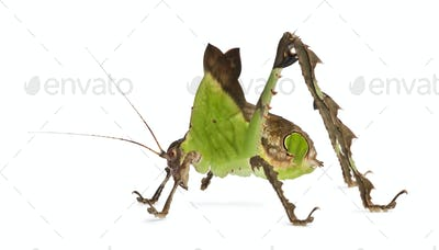 Grasshopper, Malaysian Leaf Katydid, Ancylecha fenestrata, in front of white background