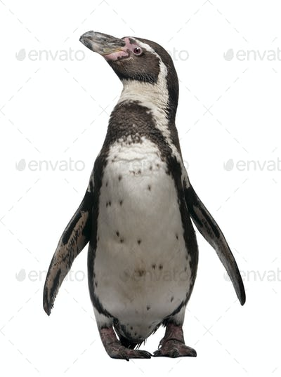 Humboldt Penguin, Spheniscus humboldti, standing in front of white background