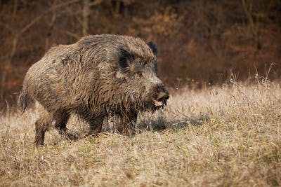 Huge wild boar with open mouth on a meadow with dry grass