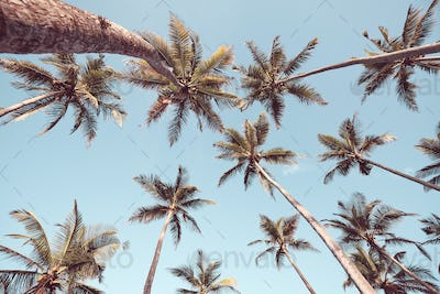 Looking up at coconut palm trees.