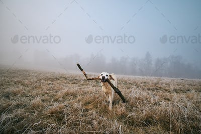Happy dog running with stick in mouth