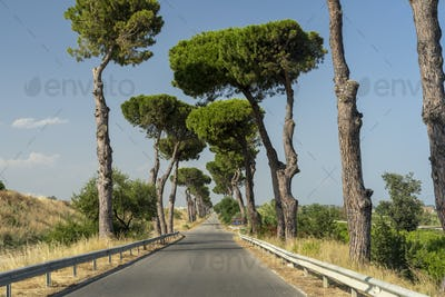 Road with pines at Rocca Imperiale Marina, Calabria