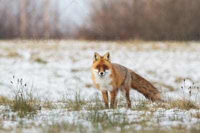 Fluffy red fox standing on a meadow with grass and snow in wintertime
