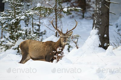 Male red deer with antlers in forest with snow in wintertime