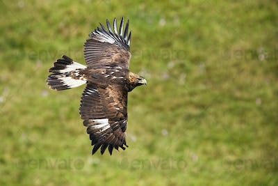 Golden eagle, aquila chrysaetos, flying over meadow with green grass in summer