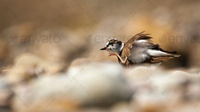 Little ringed plover scratching a itch with leg in summer