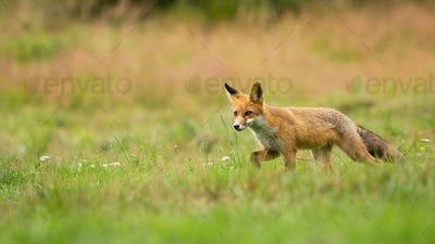 Young red fox walking through a meadow with green grass in summer