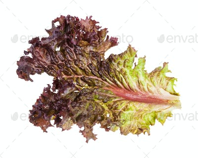 leaf of fresh Lollo rosso leaf lettuce isolated