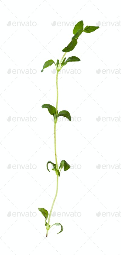 separate twig of fresh thyme herb isolated
