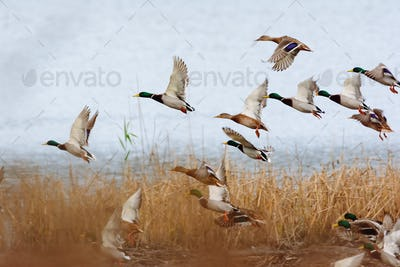 Flying mallards