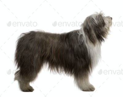 Bearded Collie, 3 Years Old, standing in front of white background