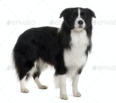Bearded Collie, 1 Year Old, standing in front of white background
