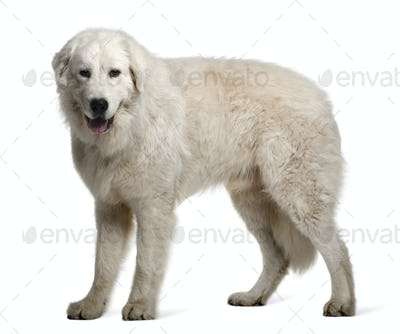 Maremma Sheepdog, 1 Year Old, standing in front of white background