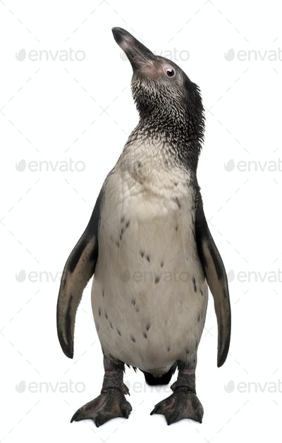 Young Humboldt Penguin, Spheniscus humboldti, standing in front of white background