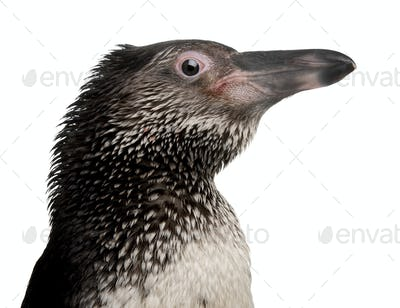Humboldt Penguin, Spheniscus humboldti, in front of white background