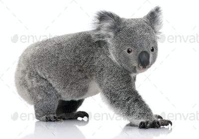 Young koala, Phascolarctos cinereus, 14 months old, in front of white background