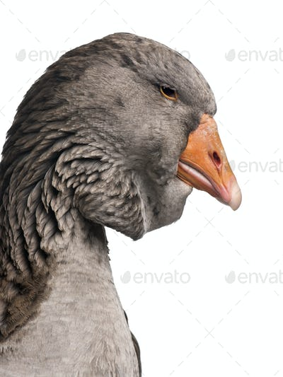 Toulouse goose in front of white background, studio shot