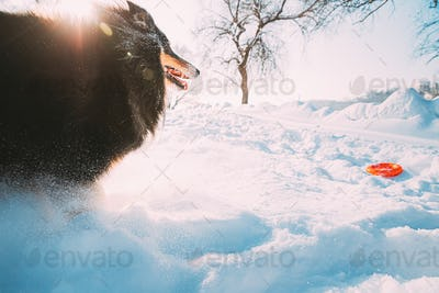 Funny Young Shetland Sheepdog, Sheltie, Collie Fast Running Outdoor In Snowy Park.