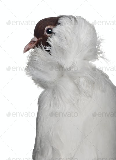 German helmet with feathered feet pigeon in front of white background