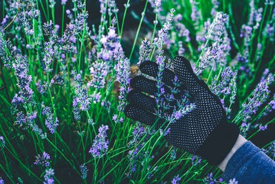 Hand with gloves holding a bouquet of lavender