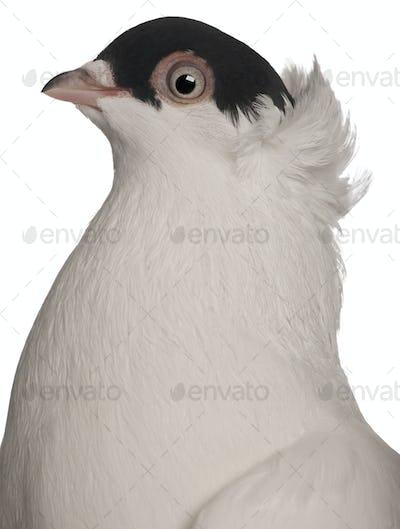 Polish helmet or Kryska Polska, a breed of fancy pigeon, in front of white background