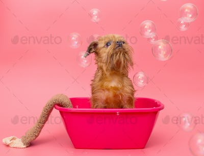 Puppy  is washed in pink the pelvis