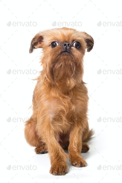 Red puppy of the Brussels Griffon