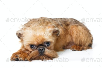 Sad puppy of the Brussels Griffon