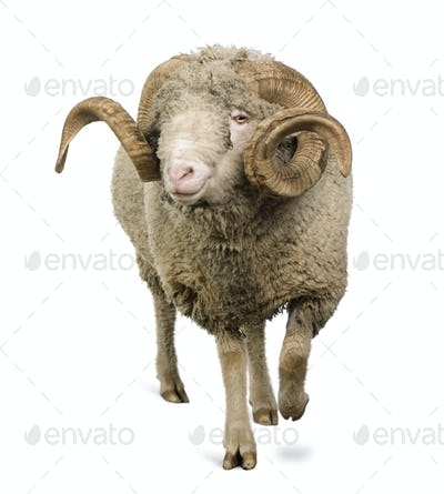 Arles Merino sheep, ram, 5 years old, walking in front of white background
