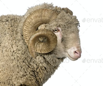 Arles Merino sheep, ram, 5 years old, in front of white background
