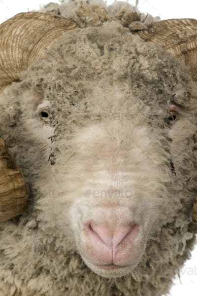 Close-up of Arles Merino sheep, ram, 5 years old, in front of white background