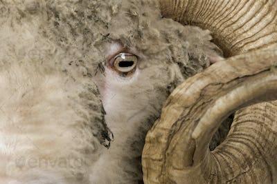 Close-up of Arles Merino sheep, ram, 5 years old