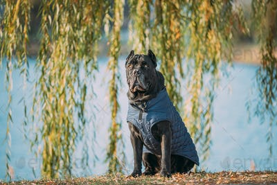 Black Cane Corso Dog Sitting Near Lake Under Tree Branches. Dog Wears In Warm Clothes. Big Dog